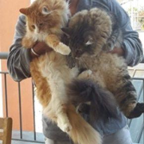 Kittens Allevamento Dei Gatti Vikinghi